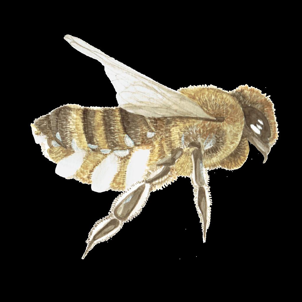 bee-1024x1024 Bienenwachs